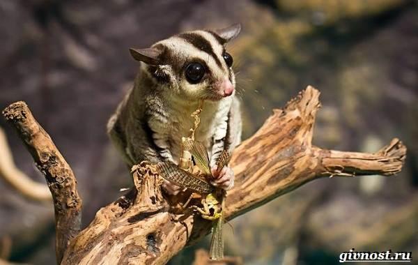 Опоссум-животное-Образ-жизни-и-среда-обитания-опоссума-11