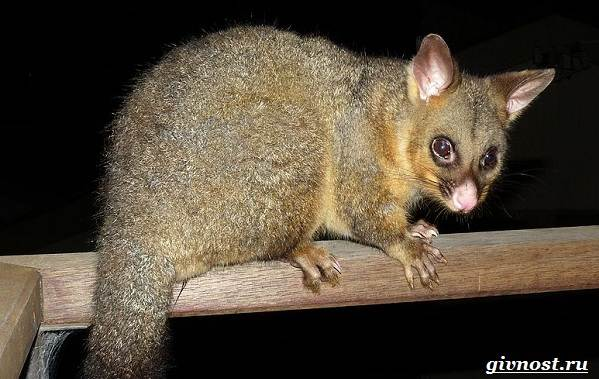 Опоссум-животное-Образ-жизни-и-среда-обитания-опоссума-12