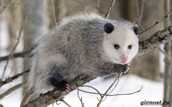 Опоссум-животное-Образ-жизни-и-среда-обитания-опоссума-13