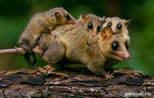 Опоссум-животное-Образ-жизни-и-среда-обитания-опоссума-16
