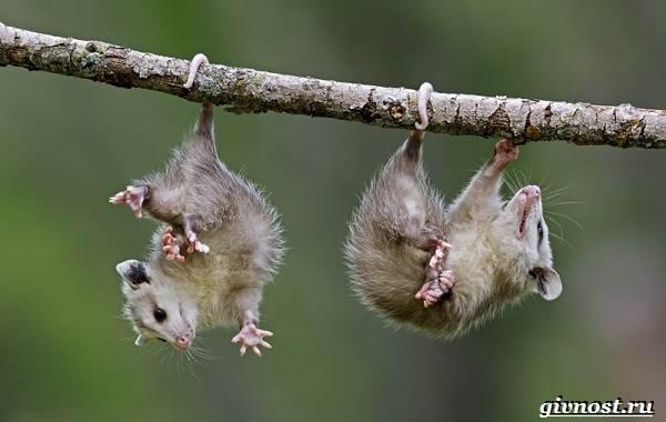 Опоссум-животное-Образ-жизни-и-среда-обитания-опоссума-17