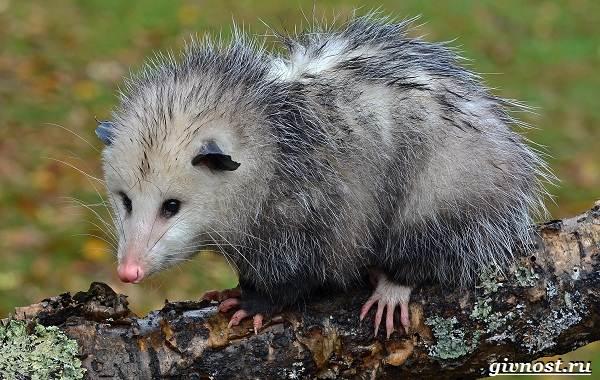 Опоссум-животное-Образ-жизни-и-среда-обитания-опоссума-2