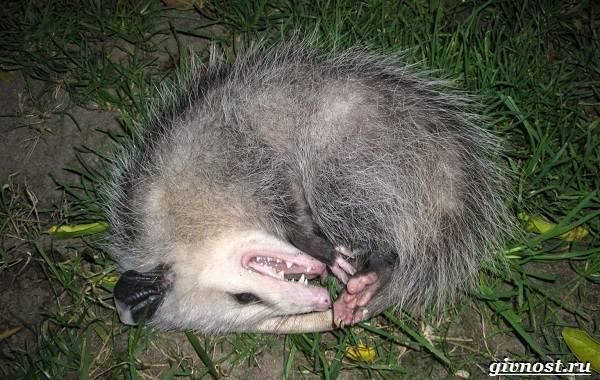 Опоссум-животное-Образ-жизни-и-среда-обитания-опоссума-3