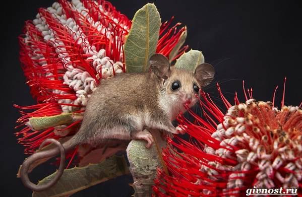 Опоссум-животное-Образ-жизни-и-среда-обитания-опоссума-4