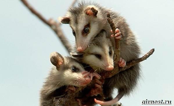 Опоссум-животное-Образ-жизни-и-среда-обитания-опоссума-5