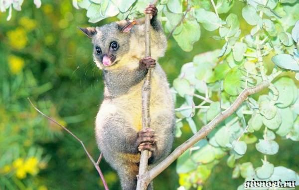 Опоссум-животное-Образ-жизни-и-среда-обитания-опоссума-6