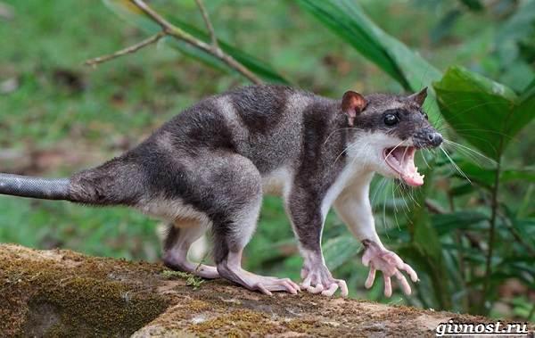 Опоссум животное. Образ жизни и среда обитания опоссума