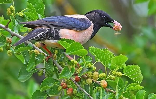 Птица-скворец-Образ-жизни-и-среда-обитания-скворца-12