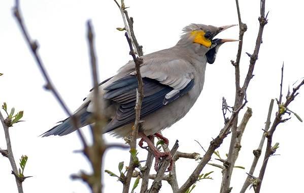 Птица-скворец-Образ-жизни-и-среда-обитания-скворца-13