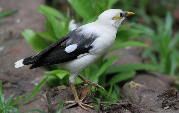 Птица-скворец-Образ-жизни-и-среда-обитания-скворца-17