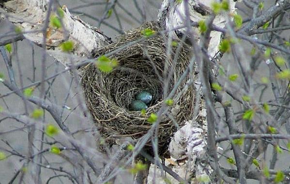 Птица-скворец-Образ-жизни-и-среда-обитания-скворца-18