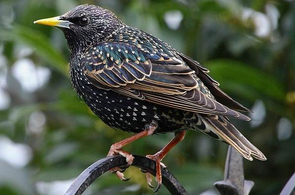 Птица-скворец-Образ-жизни-и-среда-обитания-скворца-2