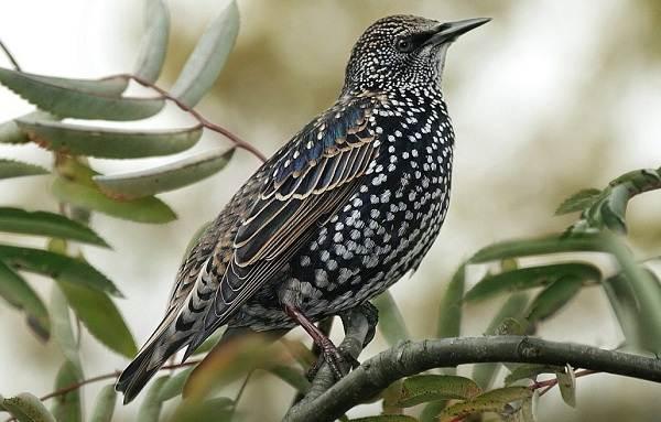 Птица-скворец-Образ-жизни-и-среда-обитания-скворца-3