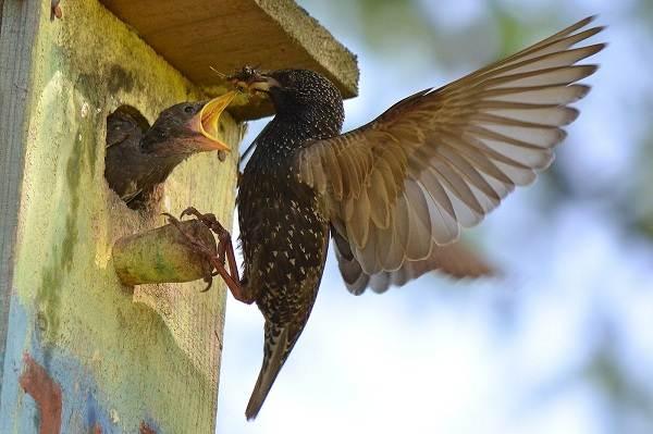 Птица-скворец-Образ-жизни-и-среда-обитания-скворца-4