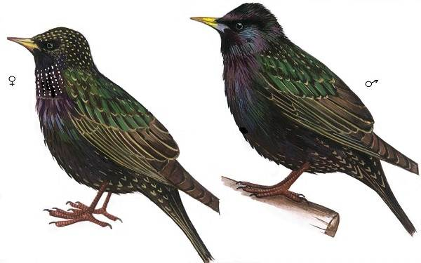Птица-скворец-Образ-жизни-и-среда-обитания-скворца-5