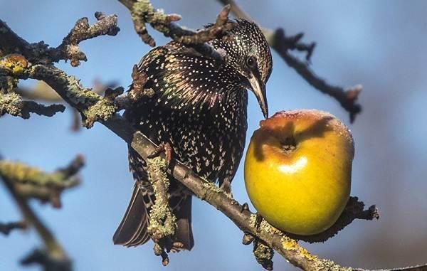 Птица-скворец-Образ-жизни-и-среда-обитания-скворца-8
