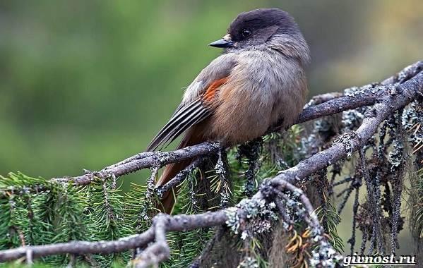Птицы-Сибири-Описания-названия-и-особенности-птиц-Сибири-15