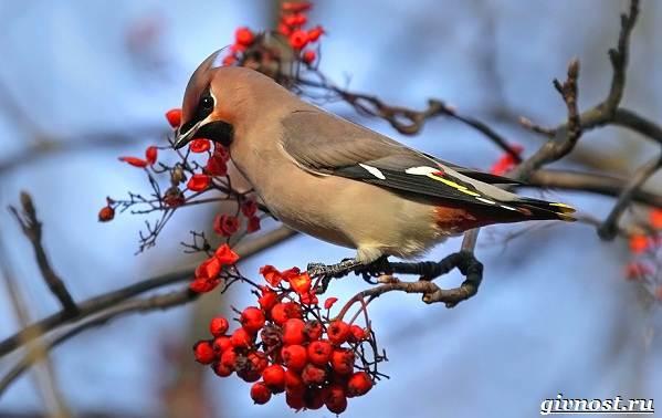 Птицы-Сибири-Описания-названия-и-особенности-птиц-Сибири-23