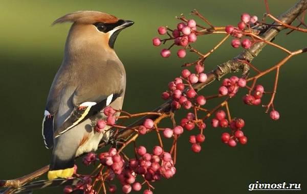Птицы-Сибири-Описания-названия-и-особенности-птиц-Сибири-24