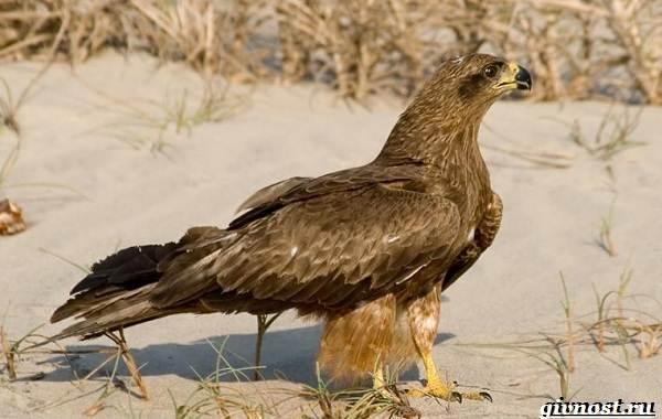 Птицы-Сибири-Описания-названия-и-особенности-птиц-Сибири-27