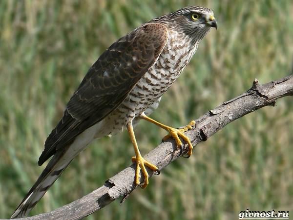 Птицы-Сибири-Описания-названия-и-особенности-птиц-Сибири-30