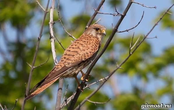 Птицы-Сибири-Описания-названия-и-особенности-птиц-Сибири-33