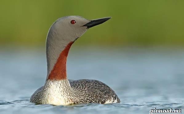 Птицы-Сибири-Описания-названия-и-особенности-птиц-Сибири-43