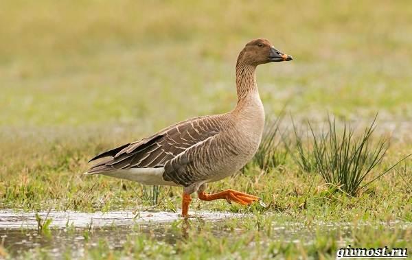 Птицы-Сибири-Описания-названия-и-особенности-птиц-Сибири-47