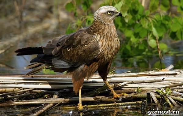Птицы-Сибири-Описания-названия-и-особенности-птиц-Сибири-50