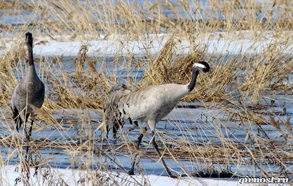 Птицы-Сибири-Описания-названия-и-особенности-птиц-Сибири-53