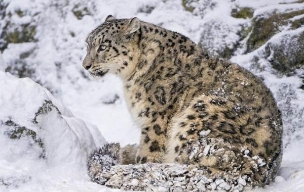 Снежный-барс-Среда-обитания-и-образ-жизни-снежного-барса-10