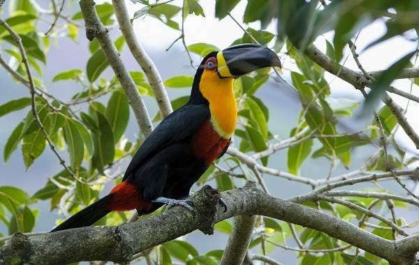Тукан-птица-Образ-жизни-и-среда-обитания-тукана-10