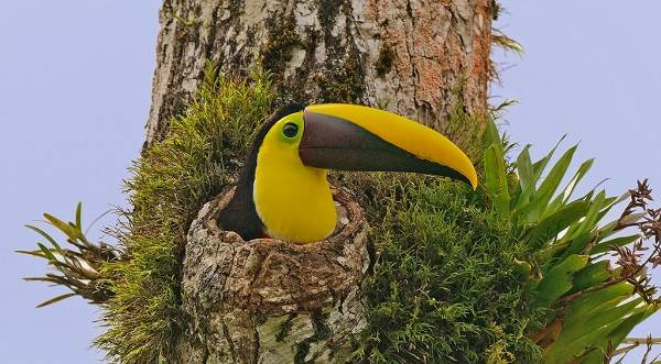 Тукан-птица-Образ-жизни-и-среда-обитания-тукана-14