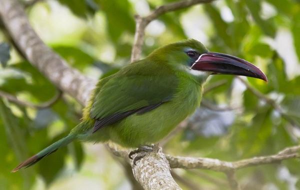 Тукан-птица-Образ-жизни-и-среда-обитания-тукана-17
