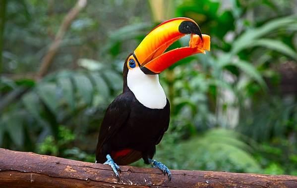 Тукан-птица-Образ-жизни-и-среда-обитания-тукана-2