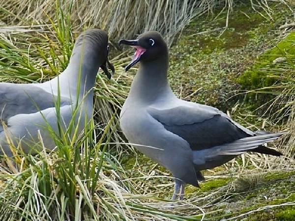 Альбатрос-птица-Описание-особенности-образ-жизни-и-среда-обитания-альбатроса-10