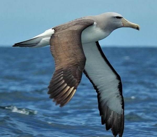 Альбатрос-птица-Описание-особенности-образ-жизни-и-среда-обитания-альбатроса-11