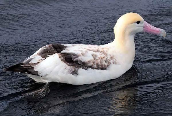 Альбатрос-птица-Описание-особенности-образ-жизни-и-среда-обитания-альбатроса-13