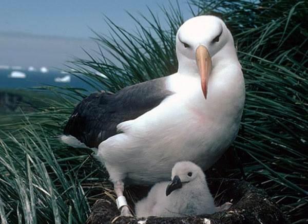 Альбатрос-птица-Описание-особенности-образ-жизни-и-среда-обитания-альбатроса-5