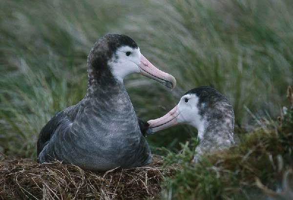 Альбатрос-птица-Описание-особенности-образ-жизни-и-среда-обитания-альбатроса-6