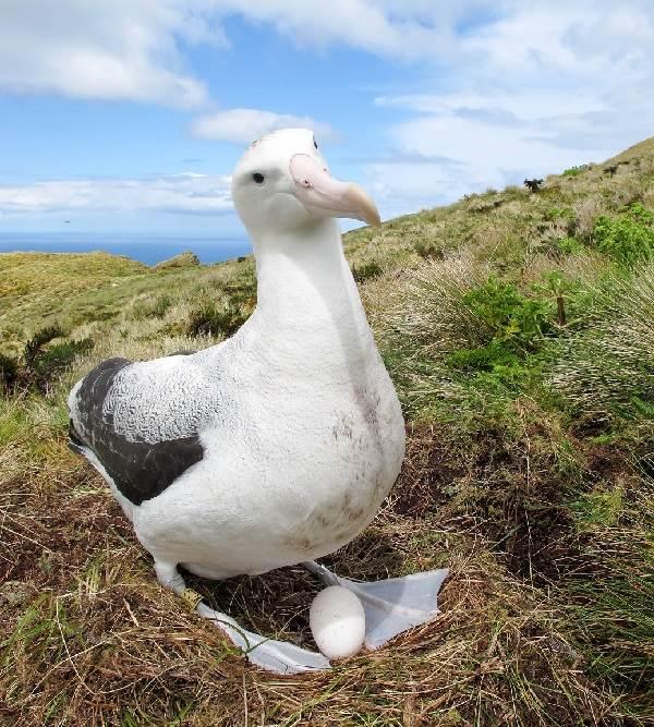 Альбатрос-птица-Описание-особенности-образ-жизни-и-среда-обитания-альбатроса-9