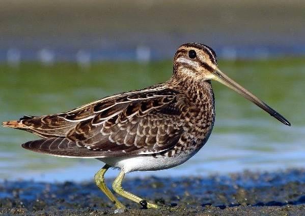 Бекас-птица-Описание-особенности-образ-жизни-и-среда-обитания-бекаса-1