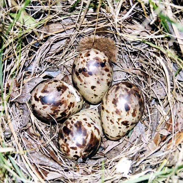Бекас-птица-Описание-особенности-образ-жизни-и-среда-обитания-бекаса-11