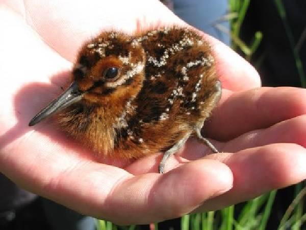Бекас-птица-Описание-особенности-образ-жизни-и-среда-обитания-бекаса-12