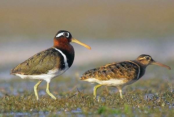 Бекас-птица-Описание-особенности-образ-жизни-и-среда-обитания-бекаса-13
