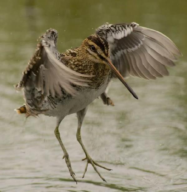 Бекас-птица-Описание-особенности-образ-жизни-и-среда-обитания-бекаса-14