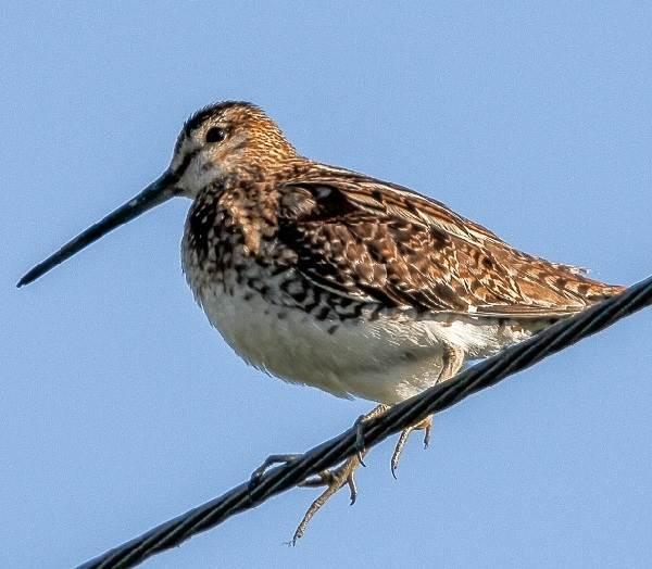 Бекас-птица-Описание-особенности-образ-жизни-и-среда-обитания-бекаса-2