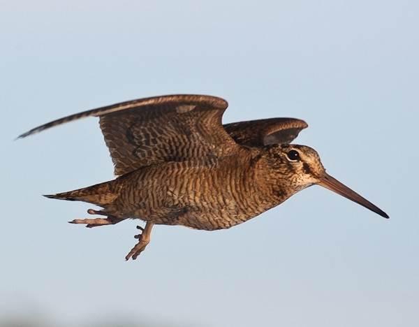 Бекас-птица-Описание-особенности-образ-жизни-и-среда-обитания-бекаса-3