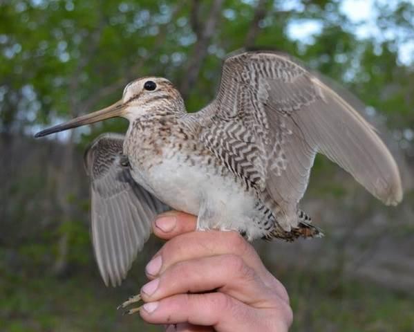 Бекас-птица-Описание-особенности-образ-жизни-и-среда-обитания-бекаса-4