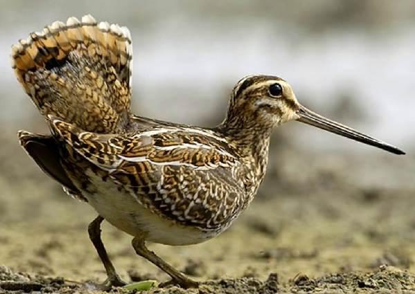 Бекас-птица-Описание-особенности-образ-жизни-и-среда-обитания-бекаса-5